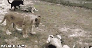 Enlace a Jugando con gatos más grandes