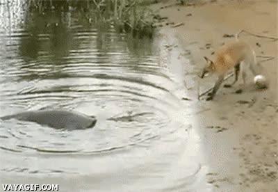 Enlace a Este zorro pescador es un poquito ambicioso
