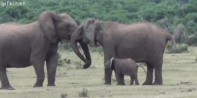 Enlace a A los bebés elefante tampoco les gusta ver a sus padres hacerse carantoñas