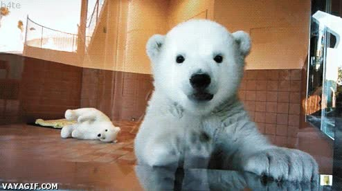 Enlace a Oso polar limpiacristales