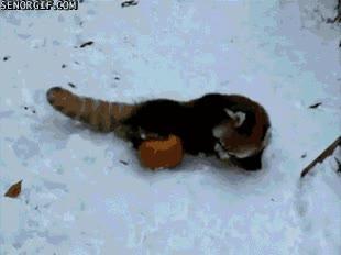 Enlace a Un panda rojo en una pelea despiadada y sangrienta no apto para sensibles