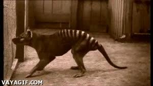 Enlace a Criaturas extintas: El Tigre de Tasmania