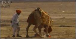 Enlace a Bueno, lección aprendida, a los camellos mejor no pegarles