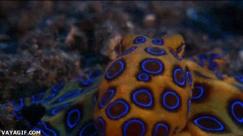 Enlace a Pulpo de anillos azules, fascinante a la par de mortal