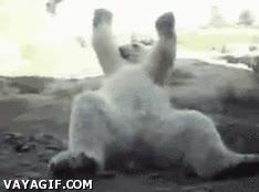 Enlace a A los osos polares les cuesta adaptarse al clima cálido, pero se contagian rápido de su ritmo