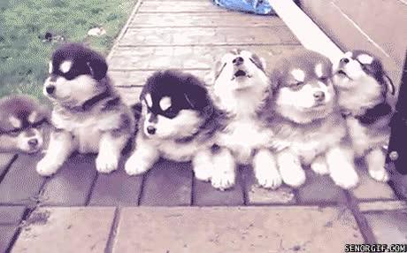 Enlace a ¡Decidido, quiero fundar mi propio coro de cachorros de husky!