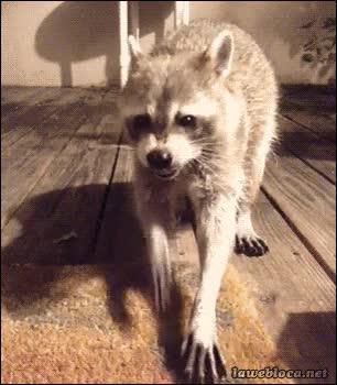 Enlace a ¿Qué está comiendo este mapache?