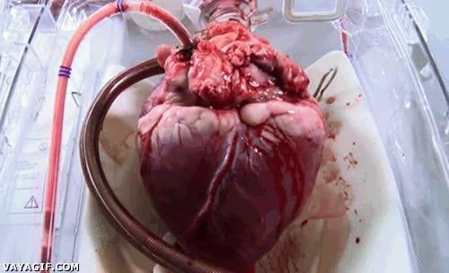 Enlace a Así es cómo late un corazón a punto de ser transplantado