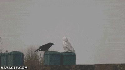 Enlace a Encuentro por primera vez entre un búho artico y un cuervo