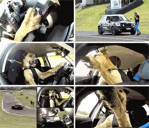 Enlace a Realmente el perro sabe conducir