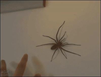 Enlace a Nota mental: No volver a incordiar a una araña de este tamaño