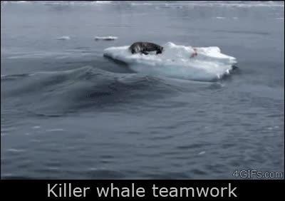 Enlace a Orcas trabajando en equipo para atacar a una pobre e indefensa foca