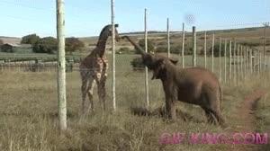 Enlace a Una cría de jirafa se encuentra por primera vez con una cría de elefante