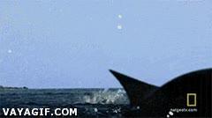 Enlace a Rayas voladoras, peces que sueñan con ser aves