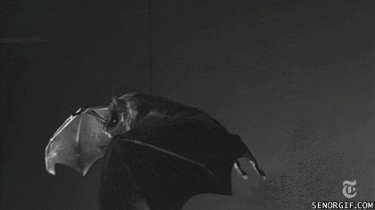 Enlace a Así bate sus alas un murciélago a cámara lenta