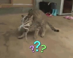 Enlace a La curiosidad mató al gato. Cuidado con los pulpos, amigos felinos