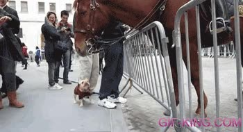 Enlace a Un bulldog francés flipando al ver un caballo por primera vez
