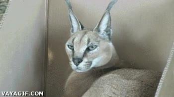 Enlace a No importa el tamaño, siempre serán gatos