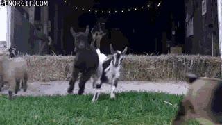 Enlace a Siempre he querido tener un ejército de cabras