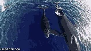 Enlace a Acompañando a las ballenas a vista de dron