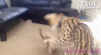 Enlace a Y eso que los gatos mayores deberían demostrar su valentía y aplomo