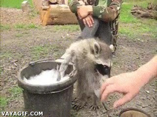 Enlace a Para una vez que el mapache quiere lavarse, déjalo tranquilo