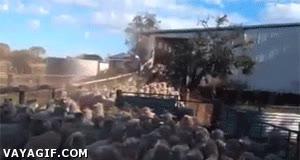 Enlace a Impresionante, perro ovejero pasa sobre las ovejas