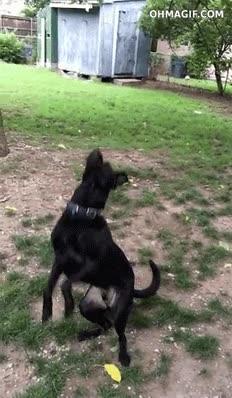 Enlace a Ese momento en que te das cuenta que tu propio perro no sirve ni para coger la pelotita