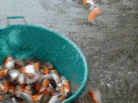 Enlace a Así como se pesca pirañas sin riesgo alguno