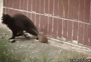 Enlace a ¿Ratas asustando a gatos? Creo que ya lo he visto todo...