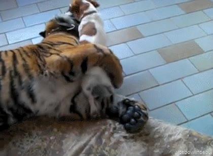 Enlace a Los perros con los gatos no sé, pero con los tigres son súper-amigos