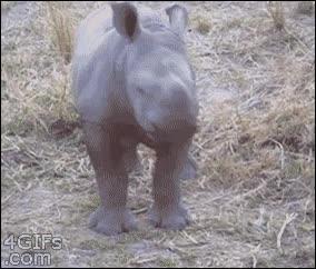 Enlace a El rinoceronte bebé que no dudaba en plantar cara, bueno, un sólo un poquito