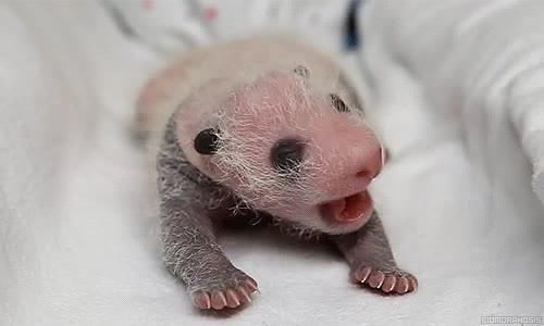 Enlace a Un bebé panda de dos semanas