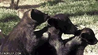 Enlace a Amor y limpieza entre hermanos oso