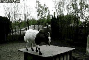 Enlace a Esta cabra tendría hueco en la defensa del Barça, ya están tardando en ficharla