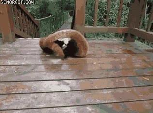 Enlace a Sangrienta y terrible pelea entre estos dos pandas rojos