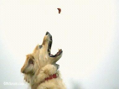 Enlace a Perro cogiendo una chuchería al aire cazado a cámara lenta