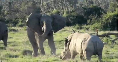 Enlace a Elefante despista a rinoceronte lanzándole un palo