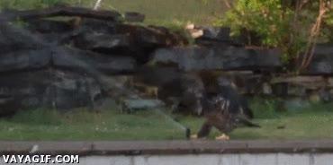 Enlace a Las águilas son como niños jugando con un aspersor