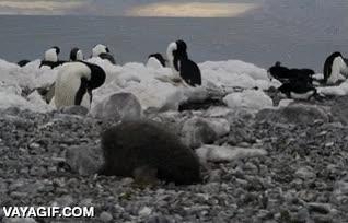 Enlace a Los pingüinos, tan monos como torpes