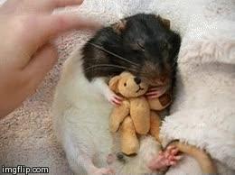 Enlace a ¿Quién dice que las ratas son animales repugnantes? ¡Mirad qué cosita más adorable!