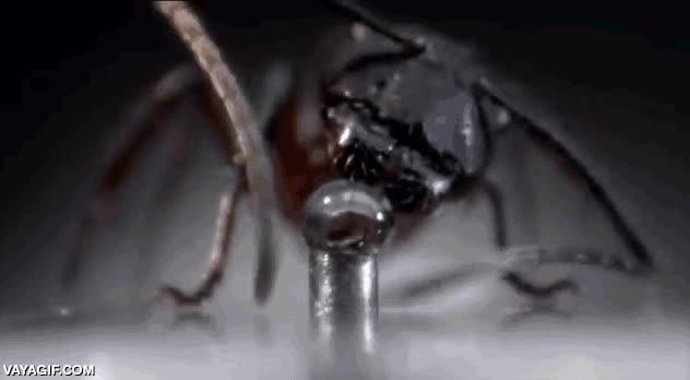Enlace a Así bebe una hormiga de una gota de agua