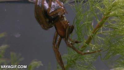 Enlace a Araña construyendo su nido bajo el agua