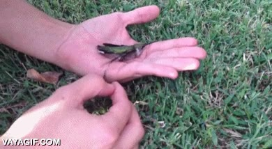 Enlace a Salvando a este pobre colibrí que se había quedado pegado a un chicle
