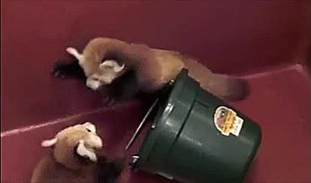 Enlace a No hay nada más adorable que las crías de un panda rojo
