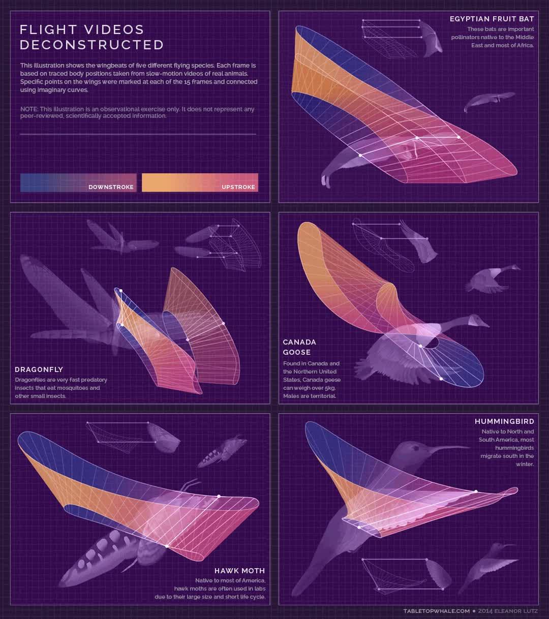 Enlace a Así es el movimiento de alas de estos diferentes animales