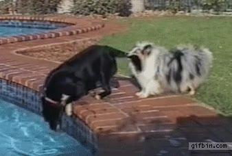 Enlace a Dos perros haciendo trabajo en equipo para recuperar la pelota de la piscina