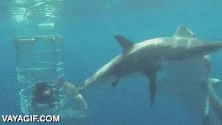Enlace a Tiburón versus tiburón