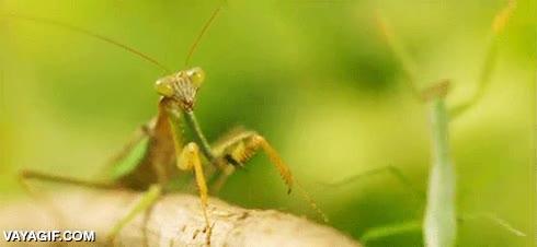 Enlace a Menuda mantis más drama queen al ser empujada...