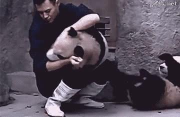 Enlace a Si cuesta darle la medicina a un gato, imagina a un oso panda